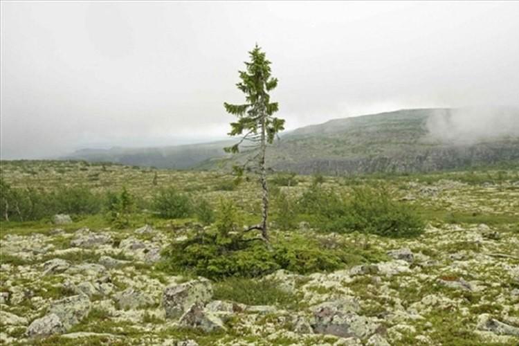 """""""樹齢9550歳""""歴史をずっと見届けてきた""""世界で最も古い木""""の厳かなたたずまい"""