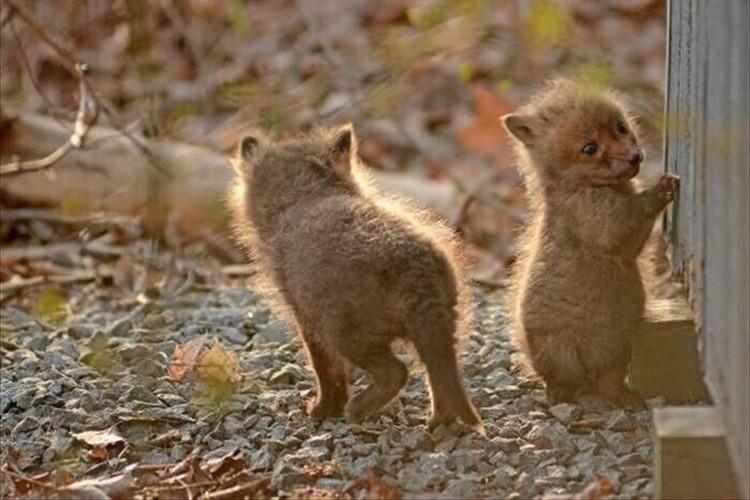"""こんこん♪民家の裏庭に遊びに来ていた""""キツネの赤ちゃんたち""""が可愛すぎる♪"""