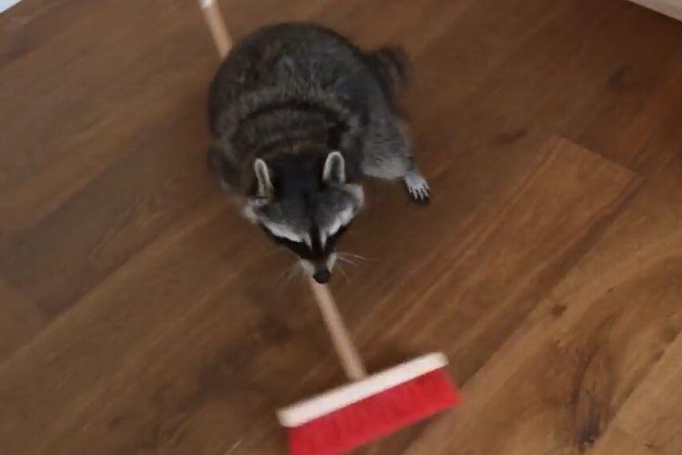 床掃除はお任せ!主人のためにお手伝いをするアライグマが可愛すぎる!