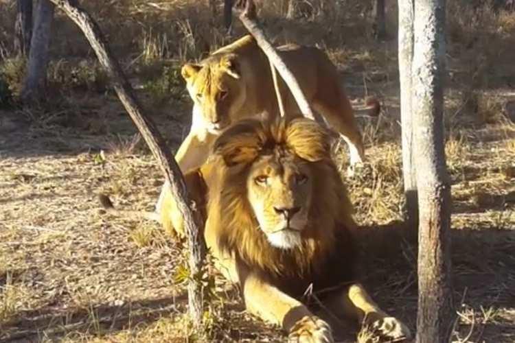 百獣の王もやはりネコ!?背後からの忍び寄るライオンの姿がおもしろすぎる!