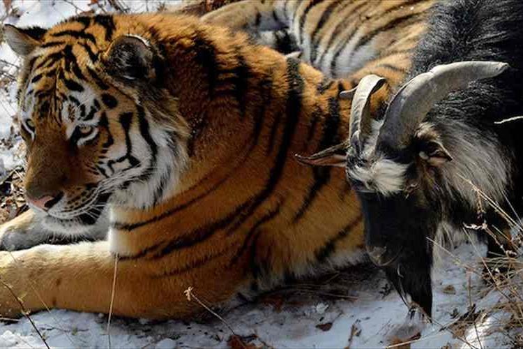 種族を越えて芽生えた友情!食べられるはずだったヤギがトラと仲良しに!