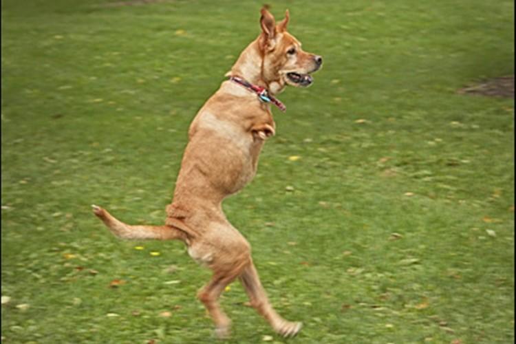 """彼女はいつも元気に駆けまわります。二本足の奇跡の犬""""フェイス"""""""