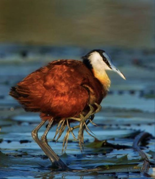 baby_jacana_birds_are_the_kings_at_hitching_a_ride_640_03r