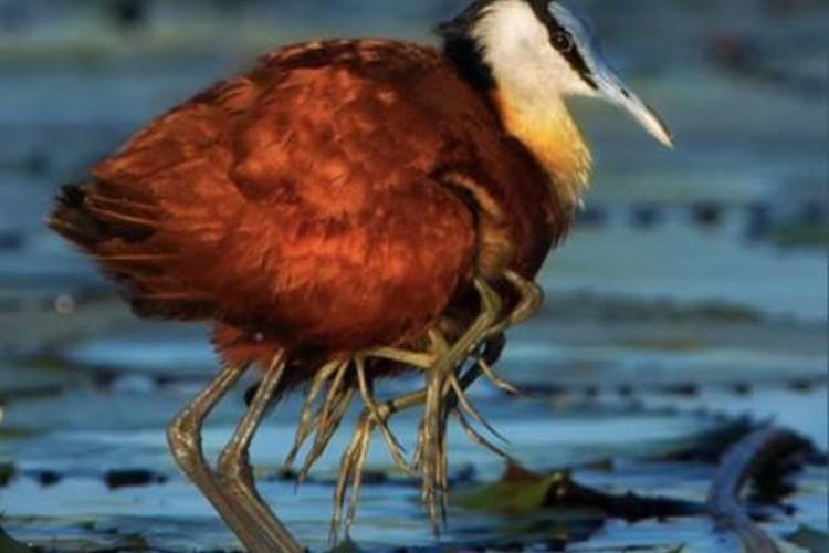 この鳥、何本も足が生えているんですけど...その鳥の名は「レンカク」