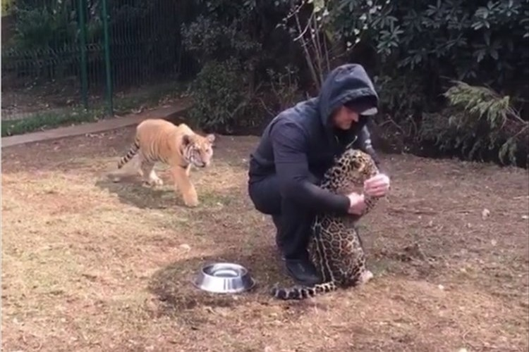 「ボクのこともかまって!」子ジャガーをナデナデしていたら後ろから襲われた!