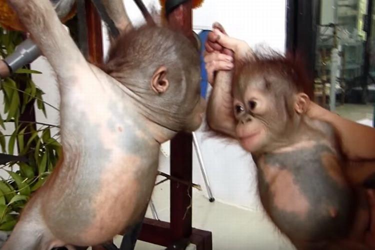 2匹の赤ちゃんオランウータンが初めて出会って仲良くなるまで