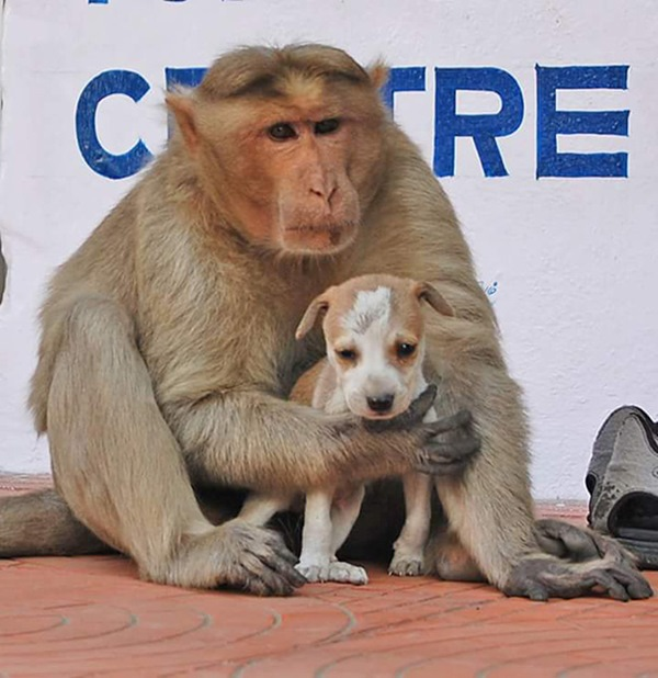 monkey-adopts-puppy-erode-india-4r