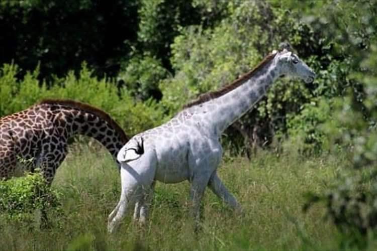 美しすぎるキリン!?タンザニアに世にも珍しい白い肌のキリンがいるらしい