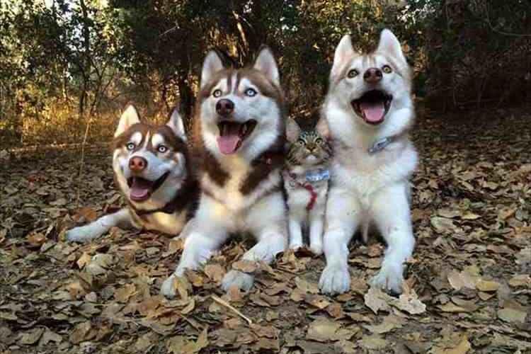 「ハスキー、ハスキー、ネコ、ハスキー」4匹はいつも一緒の仲良し家族