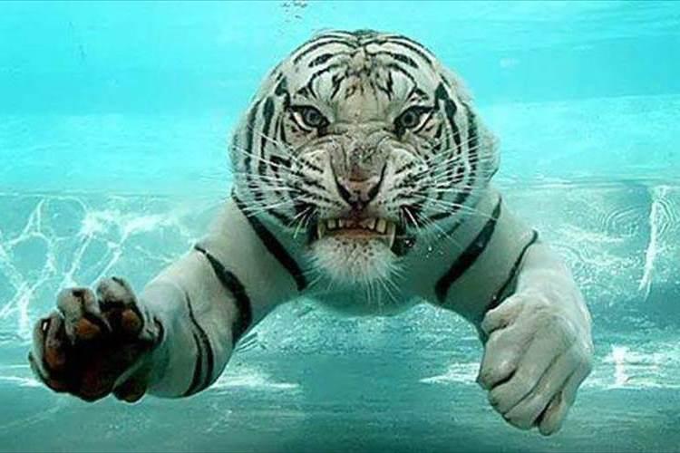 「怒っている訳じゃないよ」水の中を泳ぐトラが鬼の形相すぎで怖い