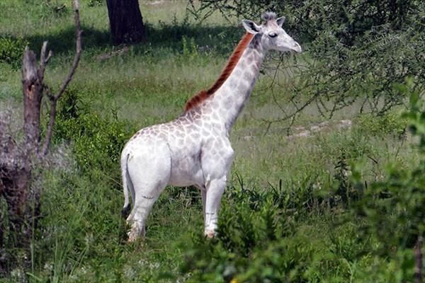 white-giraffe-leucism-albino-rare-animals-omo-tanzania-8r