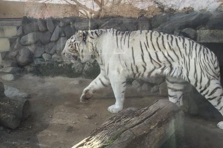 確かに見える!ホワイトタイガーを見てあるモノを思い出した。