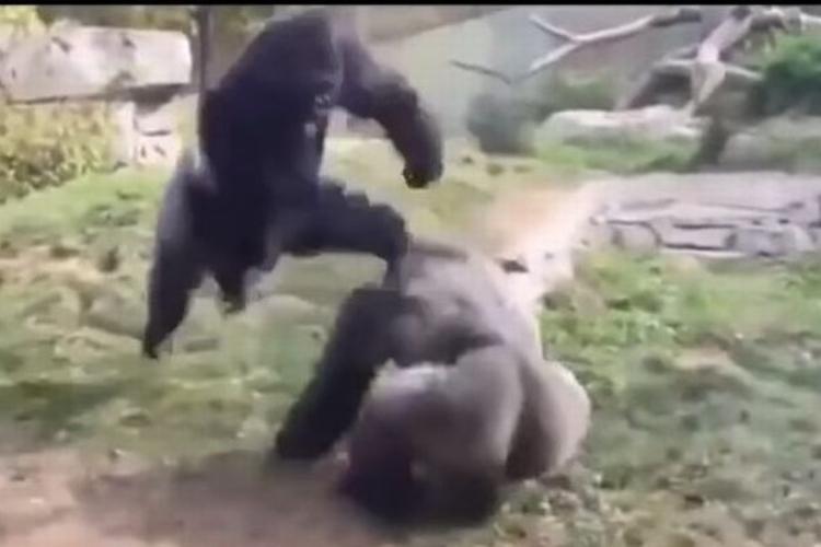 霊長類最強の闘い!『ゴリラ vs ゴリラ』がまるでドラゴンボールのバトルみたい