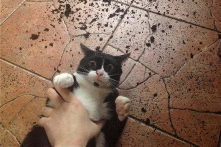 「自分はやってません」何やらやらかした現場で取り押さえられた猫の表情が話題に!