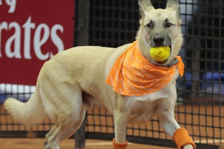 「拾ってきたよ、えらい?」テニスのボールボーイならぬボールドッグの登場に会場熱狂
