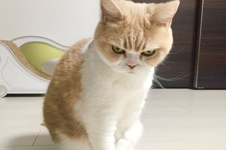目つきがヤバい猫。怒ってないけど不機嫌顔の小雪さんに惹き込まれる