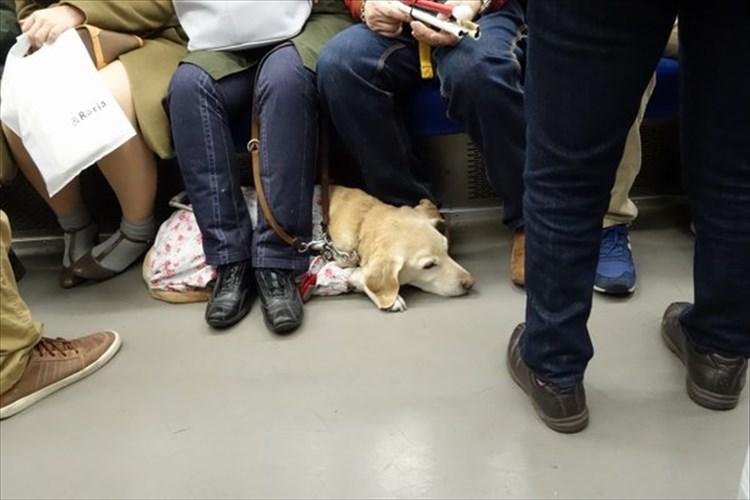 どうして満員電車にいた盲導犬は足から血を流していたのか。見かけたら守ってあげて欲しい