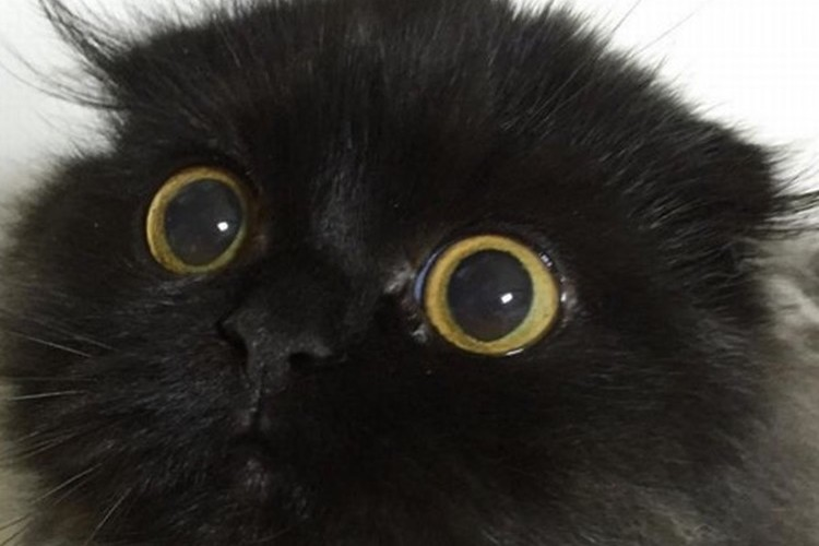 まっくろくろすけみたないな猫のギモくん。大きな目がかわいい