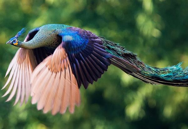 flying-peacock-20r