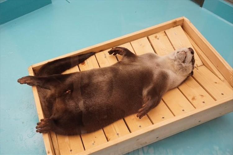 「休日のオッサンかよ!」水揚げされた魚のようなカワウソ…飼育員の手作りベッドにて