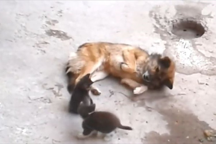 【動画】母猫が産まれた子猫を仲の良い犬に紹介…その反応に愛と友情を感じる