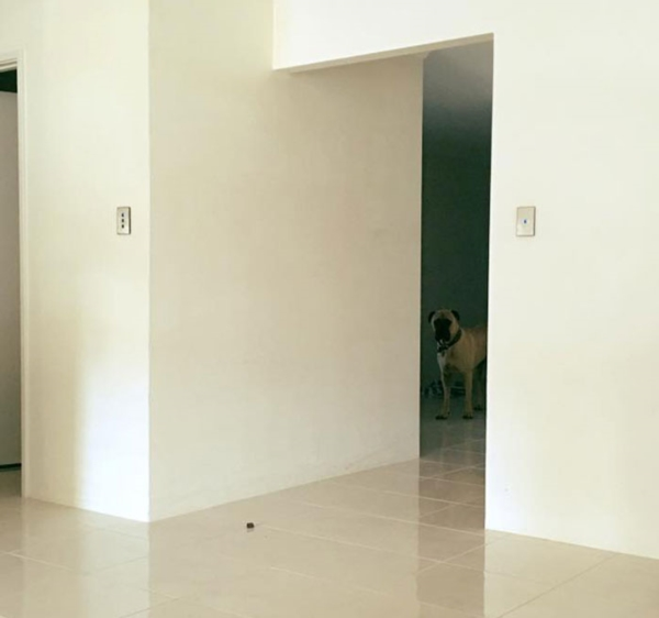 creepy-dog-stalks-owner-cyrus-bullmastiff-lauren-birney-11r