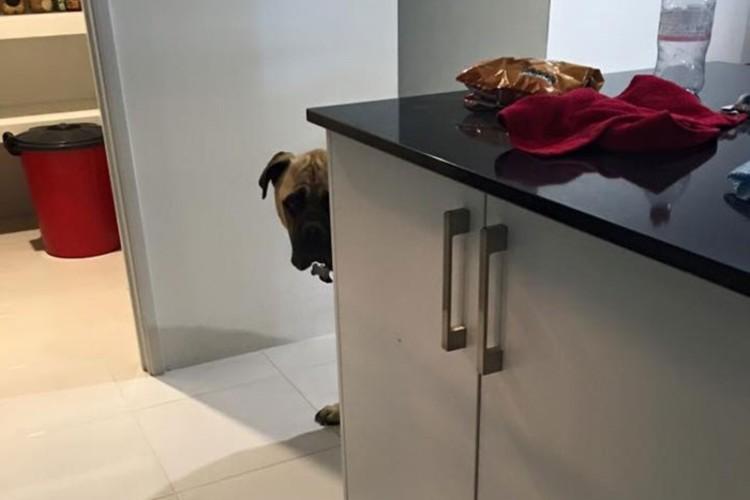 いつもどこかで見ている...ストーカー犬、サイラスがかわいい。