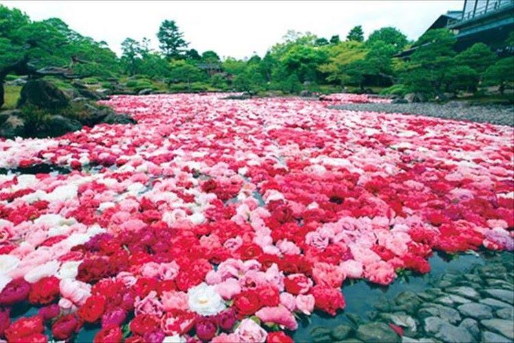 """""""三万輪の牡丹""""が池泉に浮かぶ光景が圧巻!日本一の牡丹産地・由志園"""