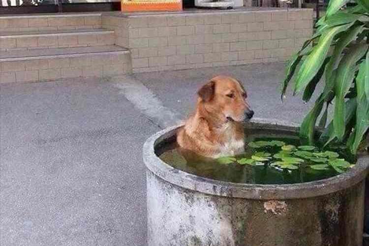 """「あぁ~あっちぃ~」暑過ぎて""""水風呂につかるワンコ""""が発見されて話題に!…4月のタイにて"""
