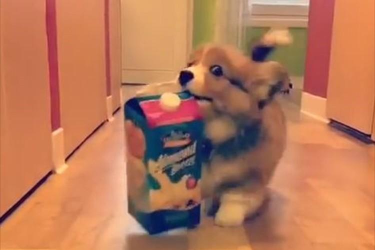 【4秒動画】自慢げな表情がたまらない!子コーギーがミルクを運ぶ姿が微笑ましい♪