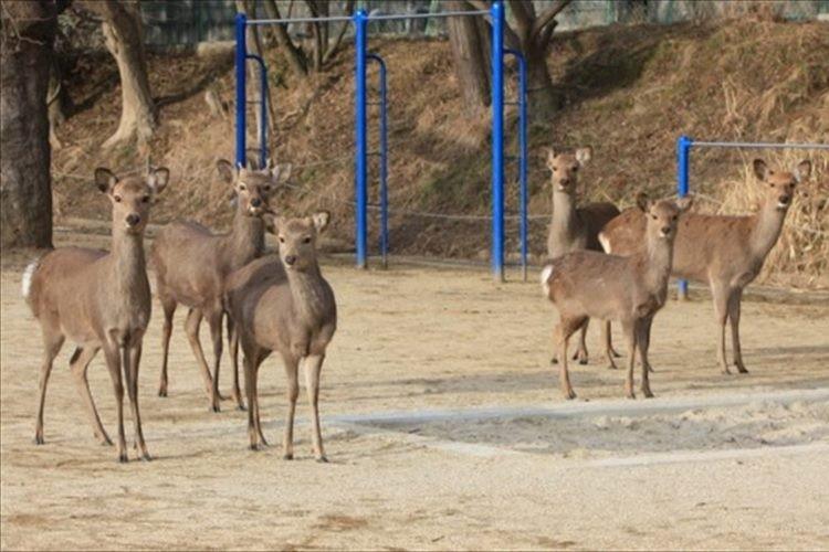 奈良の学校の校庭に鹿がいて驚いたけど、どうやら日常の光景らしい