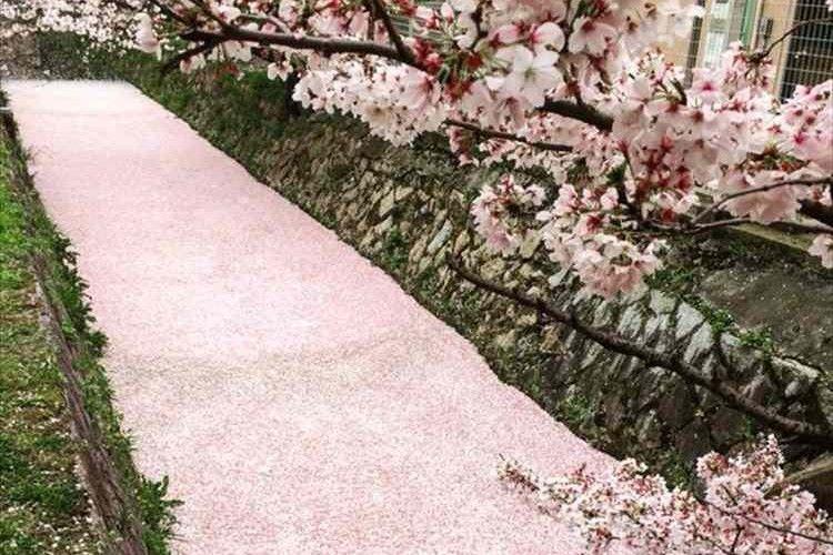 「まるで桜のじゅうたん」桜の花びらが川面を埋めつくす!京都・哲学の道が幻想的