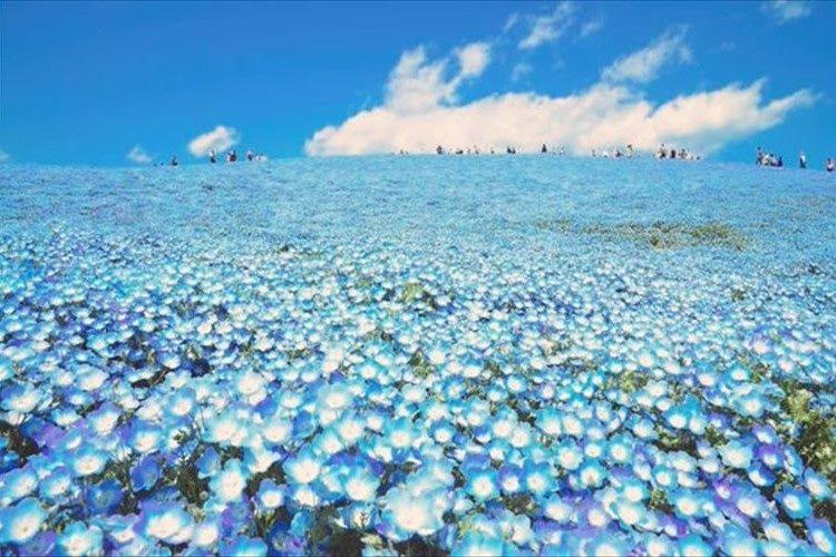 まるで天国のような青の絶景!約450万本の「ネモフィラ」の花が今年も見頃に