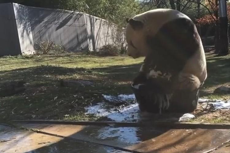 """【動画】大きな体がバケツからはみ出す!""""泡風呂を満喫するパンダ""""が微笑ましい♪"""