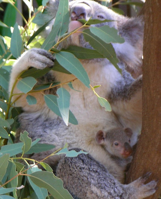 800px-Koala_with_young_R