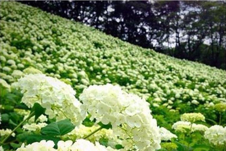 【オススメ】梅雨シーズンだからこそ行きたい!白い紫陽花「アナベルの雪山」がキレイで話題!