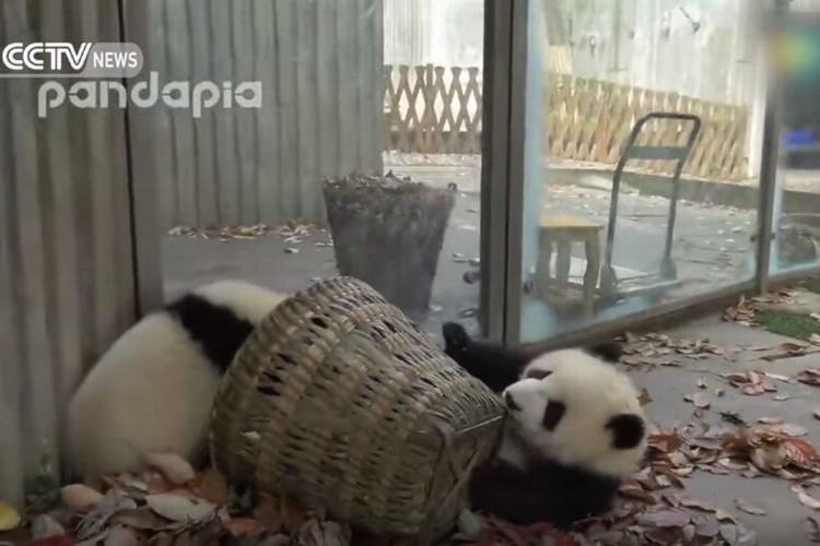じゃまカワイイ!飼育員さんもお手上げな2匹のパンダの子どもたち