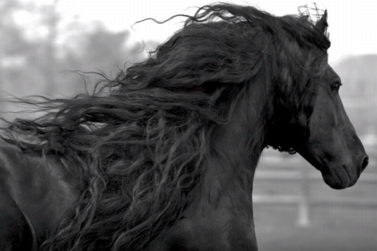 漆黒の鬣をなびかせる世界一美しい馬がアメリカにいた