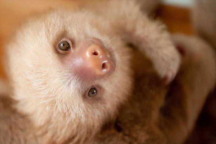 ほわわん…。つぶらな瞳が可愛いナマケモノの赤ちゃんに癒される。