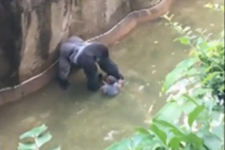 「なんという悲劇…」ゴリラの獣舎に子供が落下、苦渋の決断でゴリラを射殺