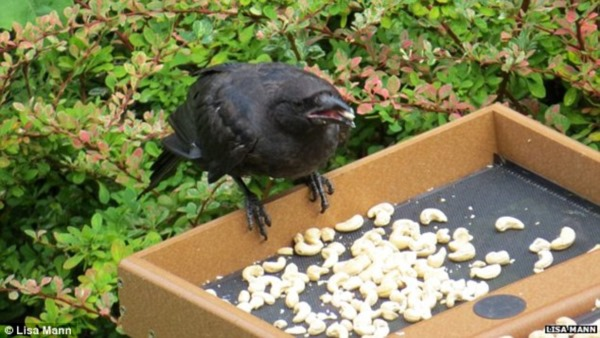 2627735D00000578-2977278-Gabi_and_her_mother_leave_nuts_for_the_crows_on_a_bird_feeder_ab-a-31_1425382670598r