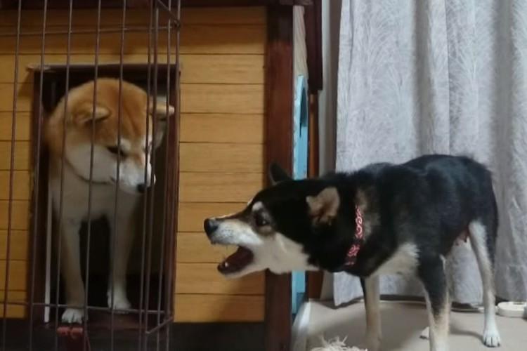 「しっかりしなさいよ!」鬼嫁に怒られる柴犬パパが人間みたいでカワイイ