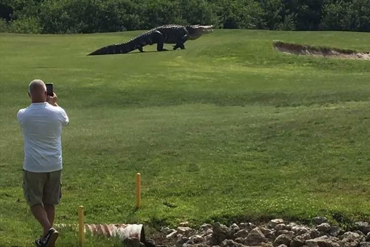 ほぼ恐竜!体長5メートル近くの巨大ワニがゴルフ場をノシノシと歩くさま
