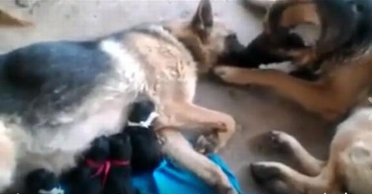「ママ、頑張ったね」出産したばかりのママ犬を労って舐めるパパ犬の姿が感動的