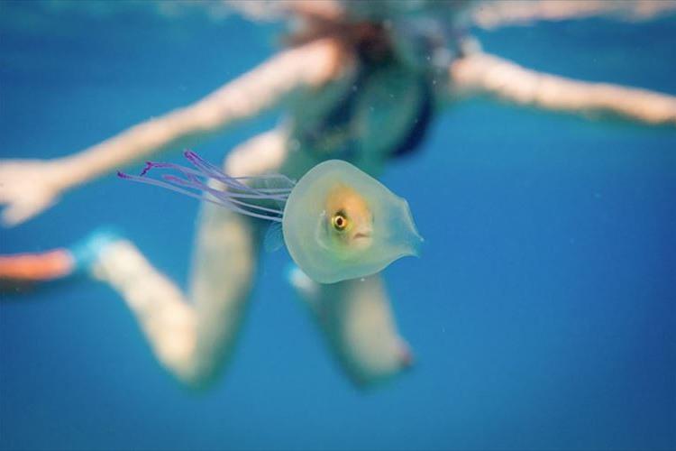 インしちゃった!?クラゲの中にすっぽり入った奇跡の魚が面白い