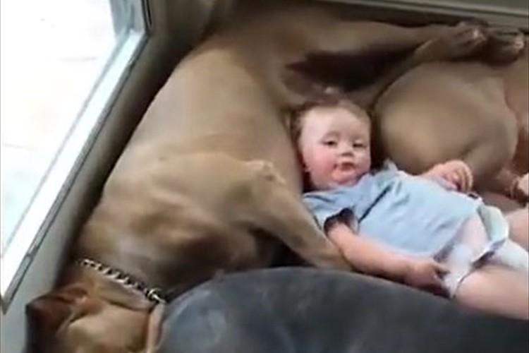 【動画】ぎゅうぎゅうだけど…赤ちゃんを優しく受け入れる4匹のピットブル