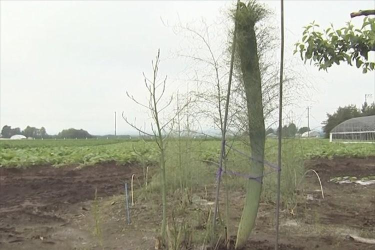 うぉ、デカいっ! 176センチの巨大アスパラが発見されて話題に! 北海道芽室町