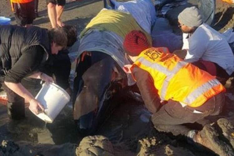 200人がバケツリレーで水分補給! ビーチに打ち上げられた瀕死のクジラを救出!