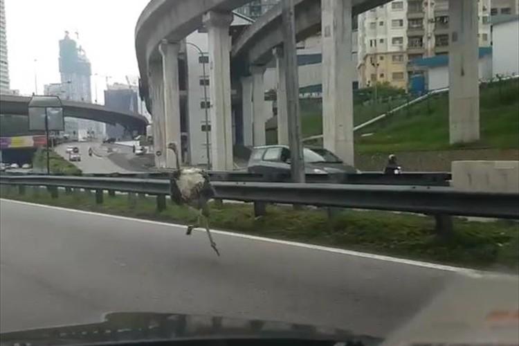 【動画】一瞬、目を疑った…道路を走っていたら、ダチョウが走っていた!
