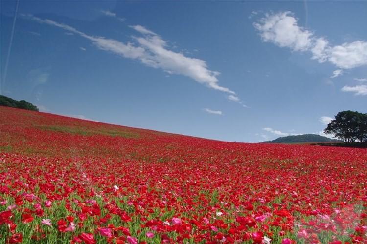 """天空を彩るポピー畑が見ごろ! """"約1500万本の花のじゅうたん"""" 秩父高原牧場"""